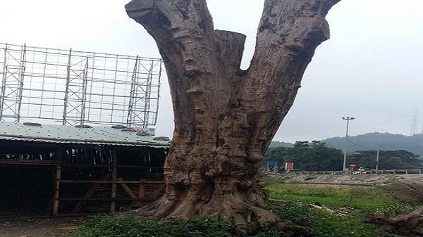 Vì sao cây gỗ được trả giá 1 triệu USD cũng không bán ở Thanh Hóa lại được xem là 'báu vật'?