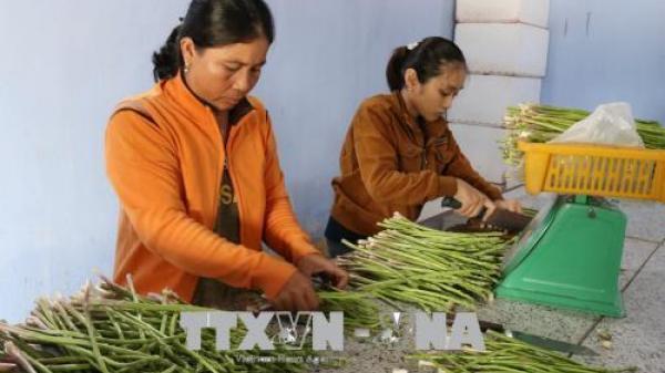 Trồng măng tây xanh trên đất cát cho hiệu quả kinh tế cao ở Ninh Thuận