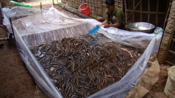 Phú Yên: Xây dựng mô hình nuôi lươn đồng thương phẩm