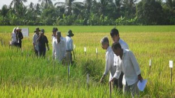 Thu hoạch dứt điểm lúa vùng ngọt hóa Gò Công