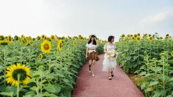 """""""Phát sốt"""" với cánh đồng hoa hướng dương đẹp ngất ngây ở Hưng Yên"""