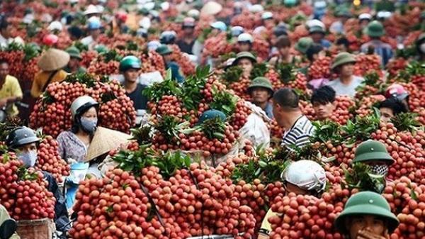 Trái vải thiều Lục Ngạn (Bắc Giang) đủ điều kiện xuất khẩu vào thị trường Mỹ, Trung Quốc
