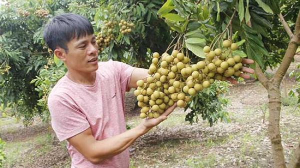 Nhãn VietGap giúp nông dân Hưng Yên tăng thu nhập