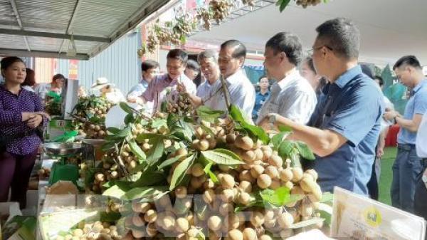 Nhãn mất mùa, nhiều nhà vườn ở Hưng Yên thất thu lớn