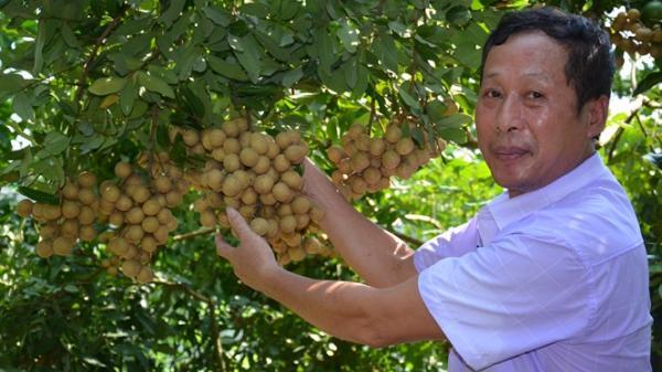 Người nông dân Bắc Giang được mùa riêng nhờ biết đánh thức mầm ngủ của nhãn
