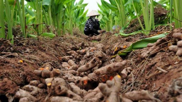 Người nông dân Hưng Yên trồng nghệ vàng theo quy chuẩn VietGAP mang lại doanh thu cao