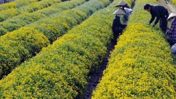 Về Hưng Yên thăm làng dược liệu được trồng hàng trăm năm nay