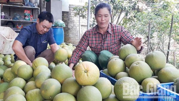 Chuyện về tỷ phú bưởi trên đất cằn ở Bắc Giang