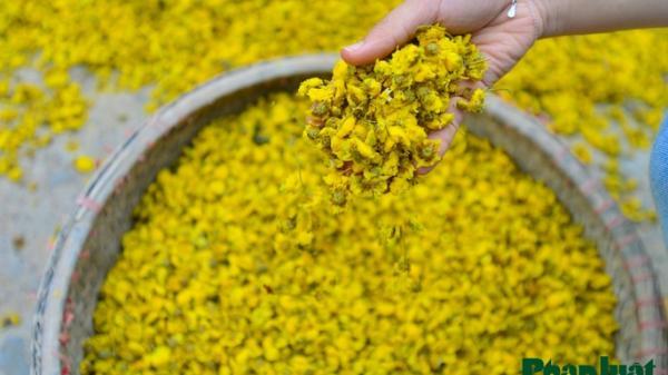 Khám phá nghề làm hoa cúc khô truyền thống có 1-0-2 ở Hưng Yên