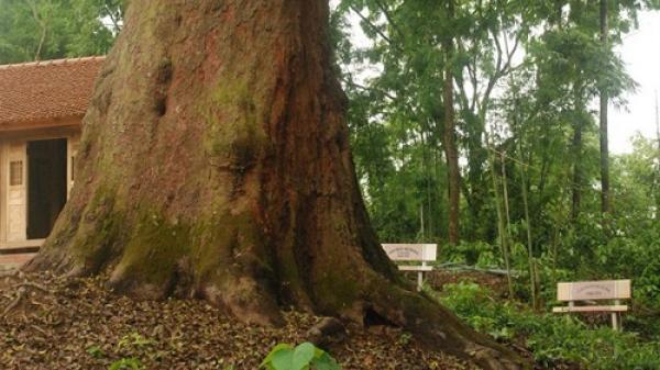 Cây lim xanh nghìn năm tuổi- báu vật rừng Yên Thế (Bắc Giang)