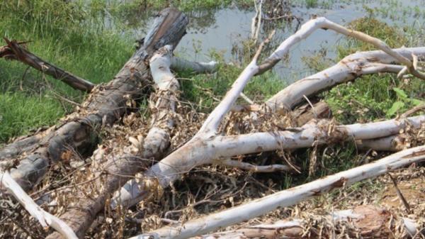 Bắc Giang: Bỗng dưng hàng trăm cây bạch đàn bị kẻ xấu chặt hạ