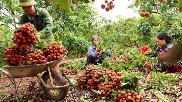 Bắc Giang: Cách ly tập trung đủ 14 ngày đối với người từ vùng dịch đến thu mua vải thiều