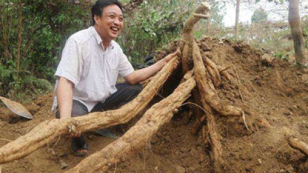 Phú Thọ: Những bụi sắn dây cho củ khổng lồ nhìn đã mắt ở Sông Lô, người nông dân lãi khủng