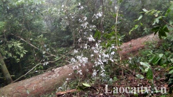 Lào Cai: Bắt 2 đối tượng chặ.t hạ cây gỗ nghiến trên 100 năm tuổi