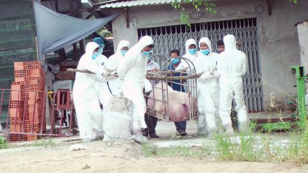 Lương Phú (Bến Tre) tiêu hủy 207 con heo mắc dịch tả heo Châu Phi