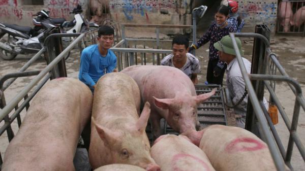 Lợn hơi hạ giá, tiểu thương lại... khóc!