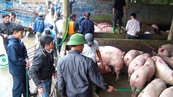 Vì sao giá lợn ở Hà Nam vẫn chưa giảm?