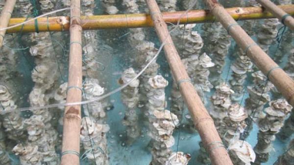 Cà Mau: Thu nhập hàng chục triệu đồng từ nghề nuôi hàu lồng