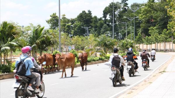TPHCM: Gia súc tự do đi lại trên các tuyến đường tại khu đô thị