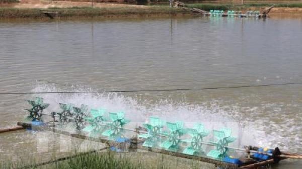 Nông dân Trà Vinh mở rộng mô hình nuôi tôm thẻ chân trắng siêu thâm canh