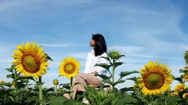 """Giới trẻ phát sốt với vườn hoa hướng dương đẹp """"lịm tim"""" đang nở vàng rộ giữa lòng thành phố Hải Dương"""