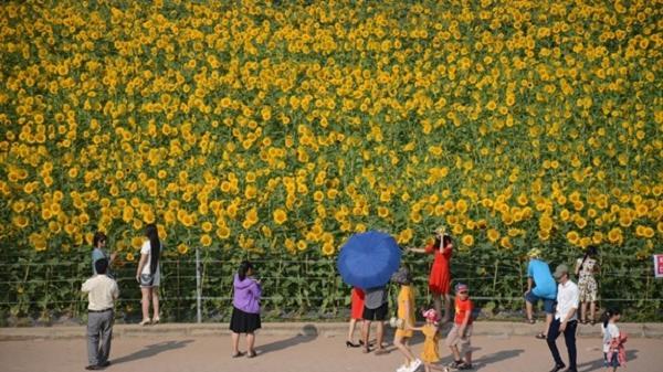 """""""Hoa mặt trời"""" khoe sắc giữa Thành Đông"""