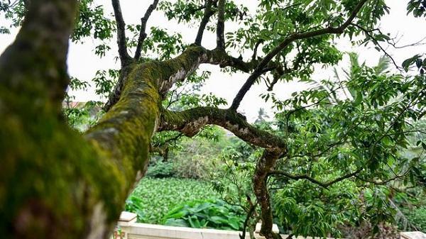 Bí ẩn cây vải tổ 200 năm ở Hải Dương được xác lập kỷ lục lâu đời nhất Việt Nam