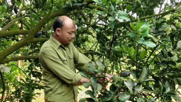 Tỷ phú trồng cam ở Hòa Bình