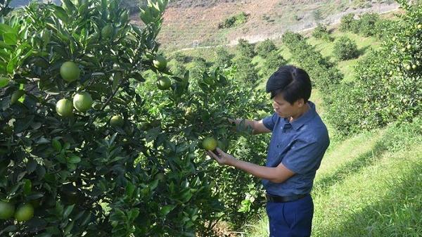 Điện Biên: Phá bỏ 13 ha Cafe sang trồng cây ăn quả khác