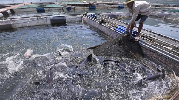 Hòa Bình: Nuôi những 'thủy quái' sông Đà to như bắp đùi, ăn tốn 1 tỷ đồng/tháng
