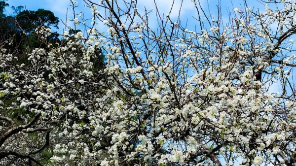Hoa mai, hoa mơ, hoa mận nở trắng rừng Tây Bắc