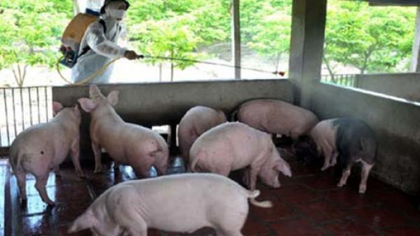 Yên Bái: Xử lý dịch lở mồm long móng bùng phát ở Văn Chấn