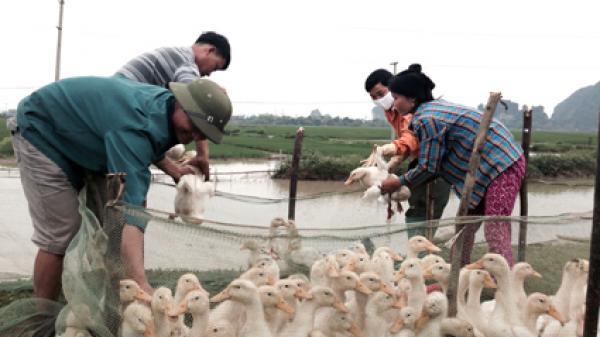 Ninh Bình: Nho Quan tập trung khống chế ổ dịch cúm gia cầm