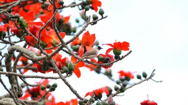 Ngẩn ngơ trước vẻ đẹp rực rỡ của hoa gạo tháng Ba ở Ninh Bình