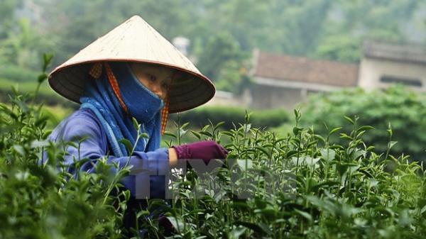 Tiền đề để chè Thái Nguyên vươn xa ra thị trường thế giới