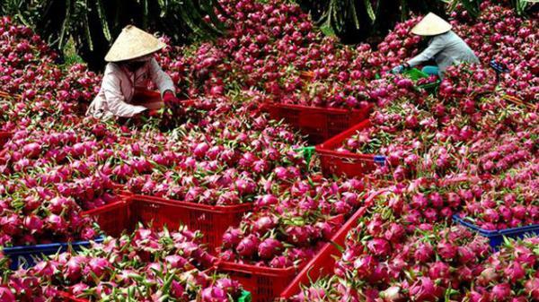 Trung Quốc hủy mua, nguy cơ ế hàng vạn tấn, nông dân lo sợ