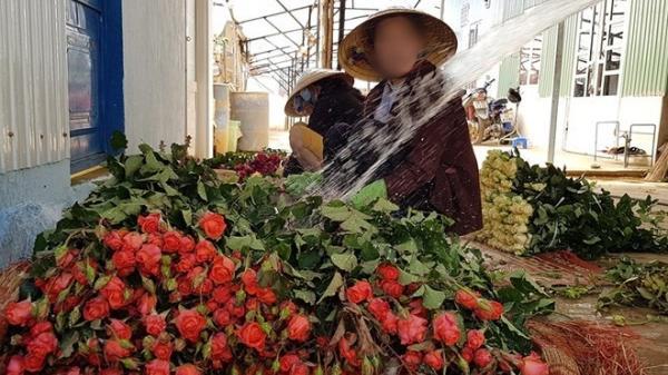 Đà Lạt: Chị em kêu gọi giải cứu hoa hồng, giá chỉ từ 700 đồng/bông