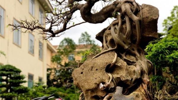 """Lấy cây sanh """"cùi"""" ký vào phiến đá khá khù khoằm, 20 năm sau ra giá nửa tỷ đồng"""