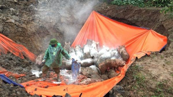 Ninh Bình: Hỗ trợ đến 48.000 đồng/kg lợn cho người dân khi phải tiêu hủy