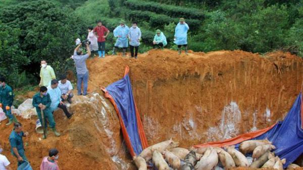 Yên Bái: Đã xuất hiện 4 ổ dịch tả lợn châu Phi