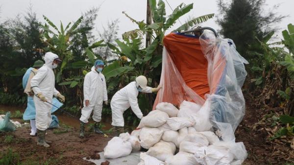Ninh Bình: Trên 86 tỷ đồng hỗ trợ hộ chăn nuôi lợn bị nhiễm dịch