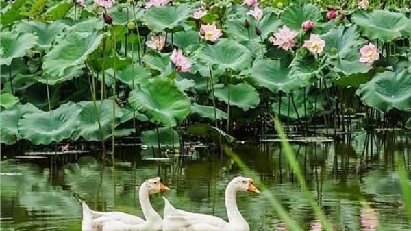 Ninh Bình: Đã mắt với đầm sen nở rộ mùa hạ, xanh mướt đẹp như tranh vẽ