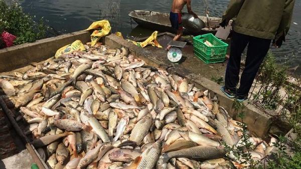 Hải Dương: Cá chết trắng ao nghi bị đầu độc