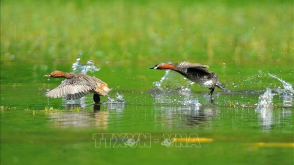 Ninh Bình: Chiêm ngưỡng vẻ đẹp của loài chim le le ở khu danh thắng Tràng An