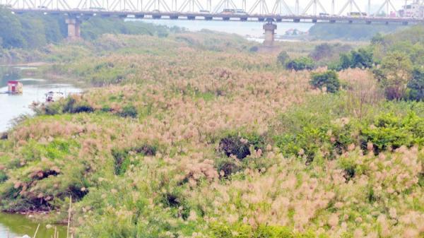 Hà Nội: Chờ ngày gió lạnh về ghé cầu Long Biên ngắm mùa hoa lau trắng muốt nở ven sông đẹp quên sầu