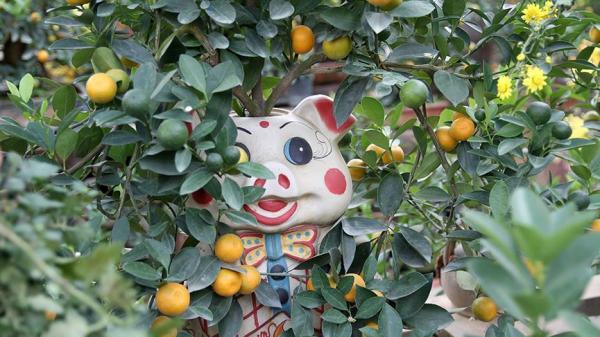 Hà Nội: Lợn đất 'cõng' quất bonsai giá bạc triệu chơi Tết