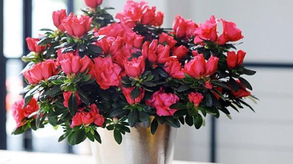 Những loại hoa chơi Tết có nhiều chất đ ộc các gia đình cần cảnh giác