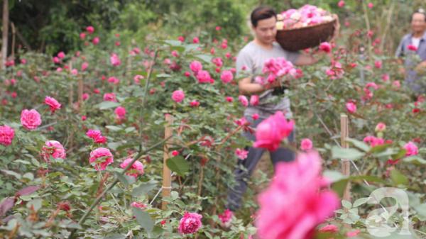 Chiêm ngưỡng vườn hồng lớn nhất Việt Nam, MIỄN PHÍ vé vào