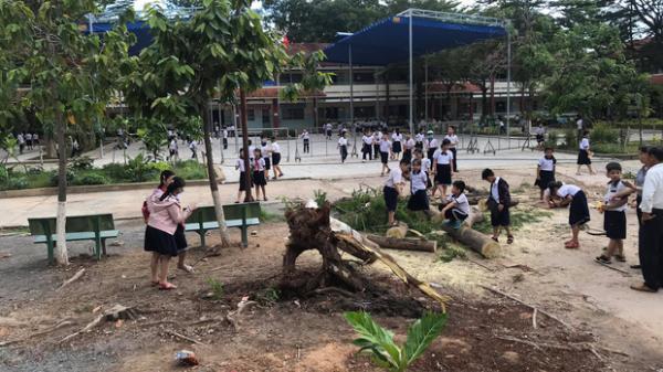 VỪA XONG: Cây phượng trong sân trường bật gốc, ngã đổ ngay sau khi học sinh ra về