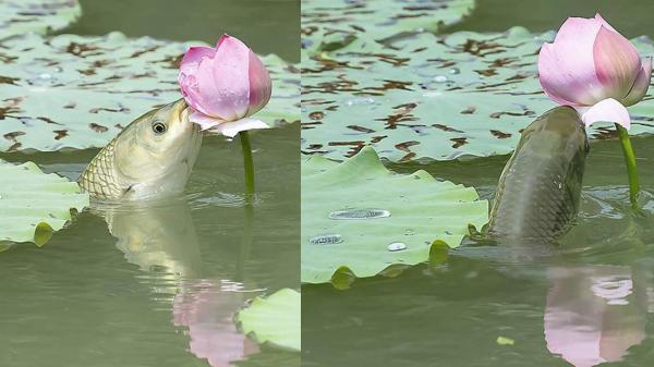 Khoảnh khắc cá lao lên mặt nước để ăn hoa sen - hình ảnh gây chú ý trên mạng xã hội